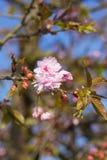 First flowers blooming sakura. Vertically. Royalty Free Stock Image