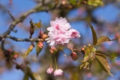 First flowers blooming sakura. Vertically. Royalty Free Stock Photos