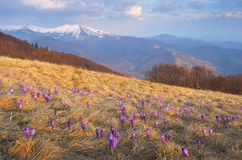 First flowers in the mountains Royalty Free Stock Images