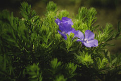 The first flowers, spring flowers, primroses, blue flower, garden flower Royalty Free Stock Photo