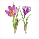 First flowers of spring, pink crocuses. Stock Photo