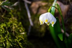 Snowflake, first flowers of spring. First flowers in springtime. spring snowflake also called Leucojum, alone on a blurred background of forest meadow in Stock Image