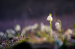 Snowflake, first flowers of spring. First flowers in springtime. spring snowflake also called Leucojum, alone on a blurred background of forest meadow in Royalty Free Stock Photo