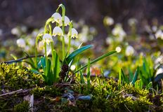 Snowflake, first flowers of spring. First flowers in springtime. spring snowflake also called Leucojum on a blurred background of forest meadow in sunlight Royalty Free Stock Photo