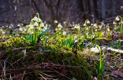Snowflake, first flowers of spring. First flowers in springtime. spring snowflake also called Leucojum on a blurred background of forest meadow in sunlight Royalty Free Stock Photography