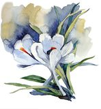 First flowers watercolor white delicate crocuses. Watercolor picture, the first flowers are white delicate crocuses with leaves on a blue background Stock Photography