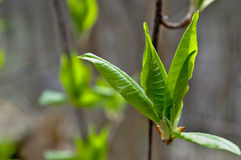The first foliage on the tree. Royalty Free Stock Image