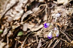 First fresh blue violet in the forest Royalty Free Stock Image