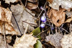 First fresh blue violet in the forest Stock Photography