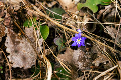 First fresh blue violet in the forest Stock Photo