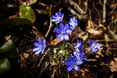 First fresh blue violets in the forest Stock Image