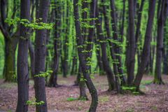 First fresh green leaves on the spring trees. First fresh green leaves on the spring trees in the park Stock Photo