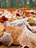 First frost. Brown and red autumnal leaves covered with frost crystals Stock Image