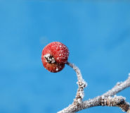 First frost on an apples Royalty Free Stock Photo