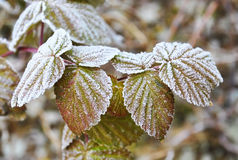 The first frost in autumn, frost on Raspberry leaves. Royalty Free Stock Photography