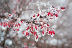 The first frost on a branch of barberries royalty free stock photo