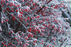 The first frost on a branch of barberries. Winter time Stock Photography