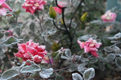 First Frost on Budding Blooms stock photo