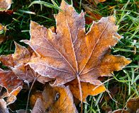 The first frost on dry leaves and green grass stock photos