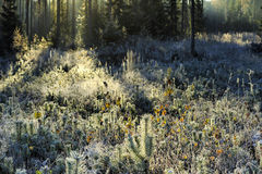 First frost in the forest Royalty Free Stock Photography