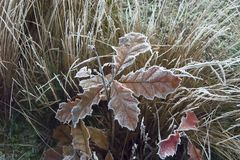 First frost. The first frost on the grass and on the leaves of a young oak tree Royalty Free Stock Photos