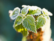 First frost on green nettle leaves in autumn Stock Image