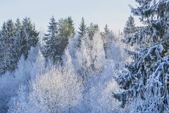 Free First Frost In The Forest. Belarusian Landscape. Beginning Of Winter. Royalty Free Stock Photo - 135209395