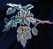First frost on plant leaves Royalty Free Stock Image