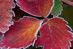 First Frost, Red Strawberry Leaves Royalty Free Stock Images
