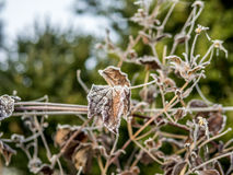 First frost and snow on the leaves  - 9 Royalty Free Stock Photos