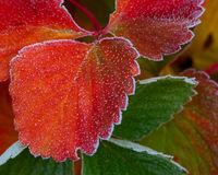 First Frost, Strawberry Leaves Stock Photo