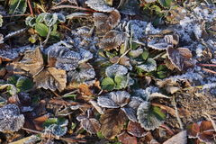 The first frost Royalty Free Stock Photography