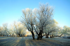 First frost tree, frost Stock Photo