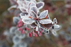 The first frost. Stock Images