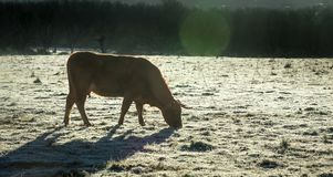 First frosts on the field. Winter is coming. Livestock feels the Stock Photos