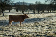 First frosts on the field. Winter is coming. Livestock feels the Stock Image