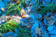The first frosts, the frost on the grass and autumn leaves . Stock Photography