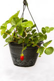 First Fruit: Strawberry Plant in Black Pot Stock Images