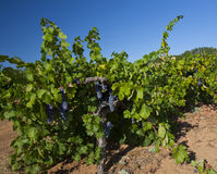 First Grapes in Vineyard Row Royalty Free Stock Images