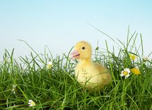 First grass. 4 days old easter duckling meeting his first grass Royalty Free Stock Photo