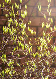 First green blossoms on a bush, brick wall blur background. Blossoms of bush in the early spring. Stock Photography
