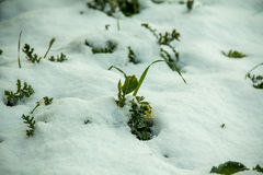 First green grass from under snow. Spring is at the door Stock Photography