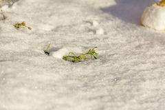 First green grass from under snow. Spring is at the door. Morning sunlight Stock Images