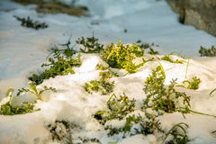 First green grass from under snow. Spring is at the door. Morning sunlight Royalty Free Stock Photos