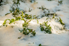 First green grass from under snow. Spring is at the door. Morning sunlight Royalty Free Stock Image