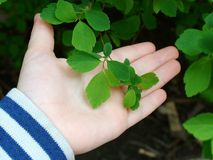 The first green leaves. A children showing the first green leaves of spring Royalty Free Stock Image