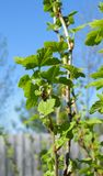 The first green leaves on the black currant Bush Royalty Free Stock Photos