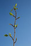 First  green leaves on blue sky background. Spring time. Stock Photos