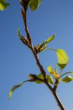 First  green leaves on blue sky background. Spring time. Royalty Free Stock Images