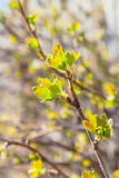 First green leaves currant backlit Stock Photography